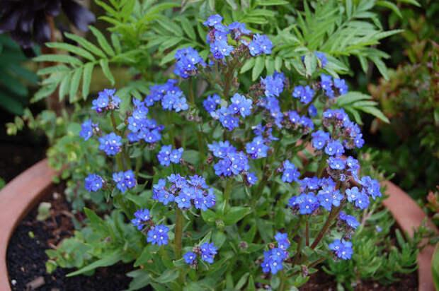 Анхуза капская, фото с сайта plantlust.com