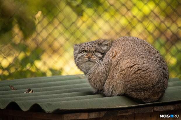 Манулы в Новосибирском зоопарке превратились в меховые шары — 15 фотодоказательств