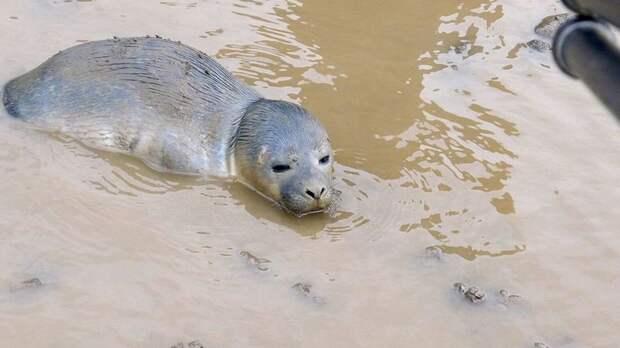 В Великобритании стадо коров спасло новорожденного тюлененка