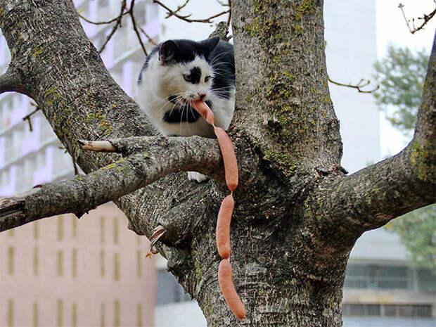 """Кошки любят воровать """" Электронные Вести"""