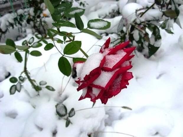 Все ли розы нужно укрывать на зиму? - МОЯ ЛЮБИМАЯ ДАЧА