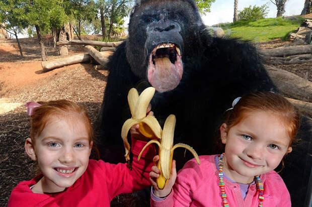 Это горилла в зоопарке в Австралии