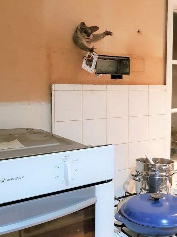 Миляга-поссум полез лакомиться через дырку в стене, но стал австралийским Винни-Пухом австралия, животные, застрял, милота, поссум