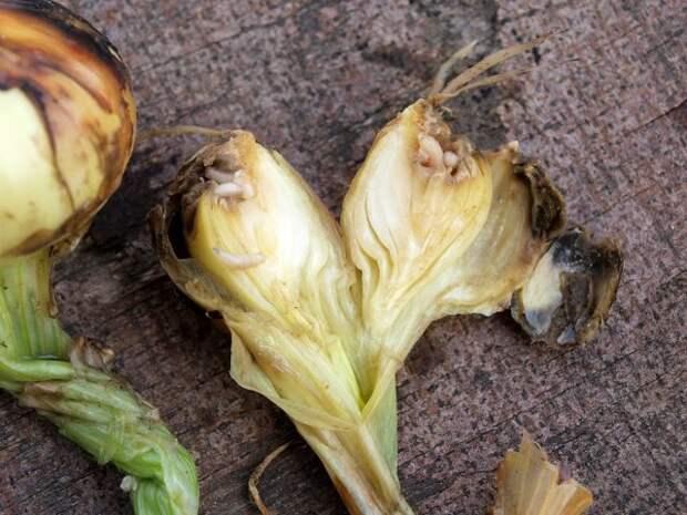 Луковица, пораженная луковой мухой