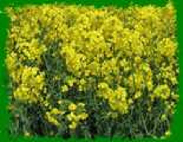 Растения сидераты.Улучшение почвы