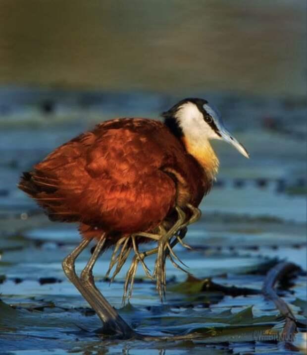 Забавная птица из семейства якановых (4 фото)