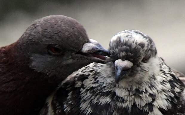 Воркующие голуби