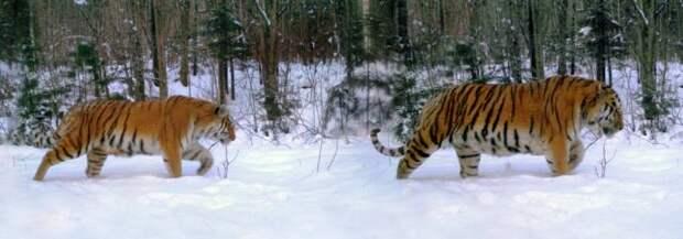 В Приморье фотоловушка засняла уникальное тигриное семейство