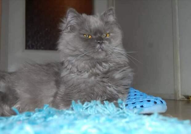 Персидский котёнок был обнаружен в аэропорту, после чего пришлось искать ему дом