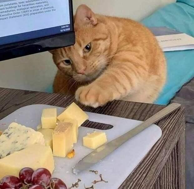 14 котов, которые ради еды готовы на преступление