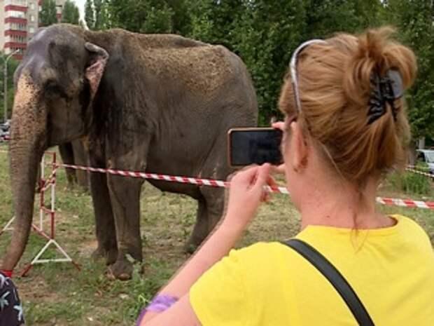 Вести. В Липецке на Советской улице паслись азиатские слоны