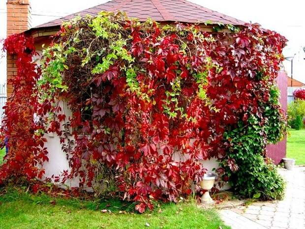 Зимостойкие лианы, вьющиеся растения для сада