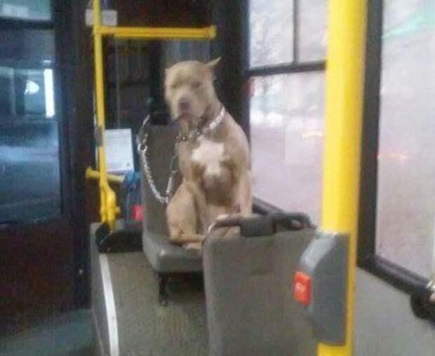 Собака-пассажир из нижегородского автобуса стала звездой социальной сети
