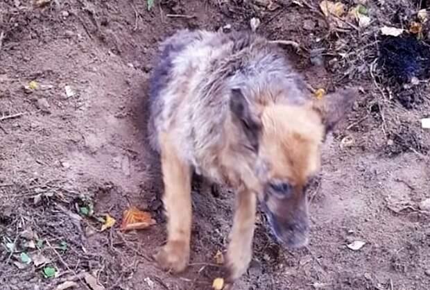 Мужчина случайно обнаружил закoпанную в землю живую немецкую овчарку