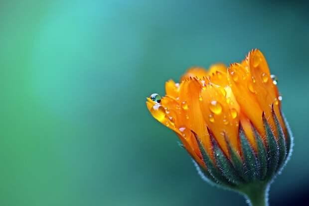Marigold, Flower, Dewdrops, Water Droplets