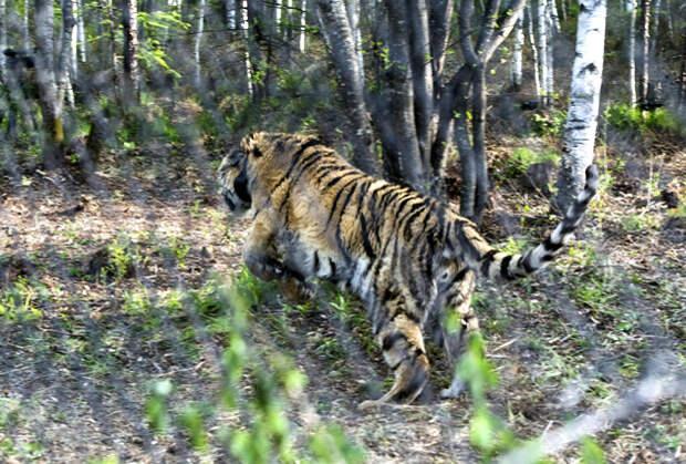 Один из тигров в заказнике «Желудинский», Приморский край