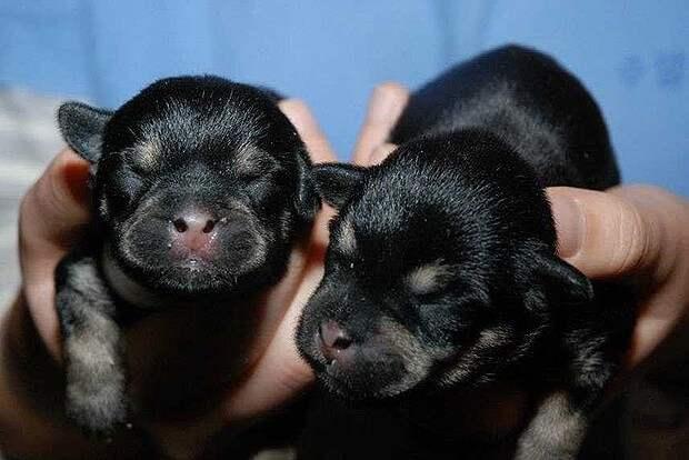 Клонированные щенки бизнесмен, животные, политик, факты
