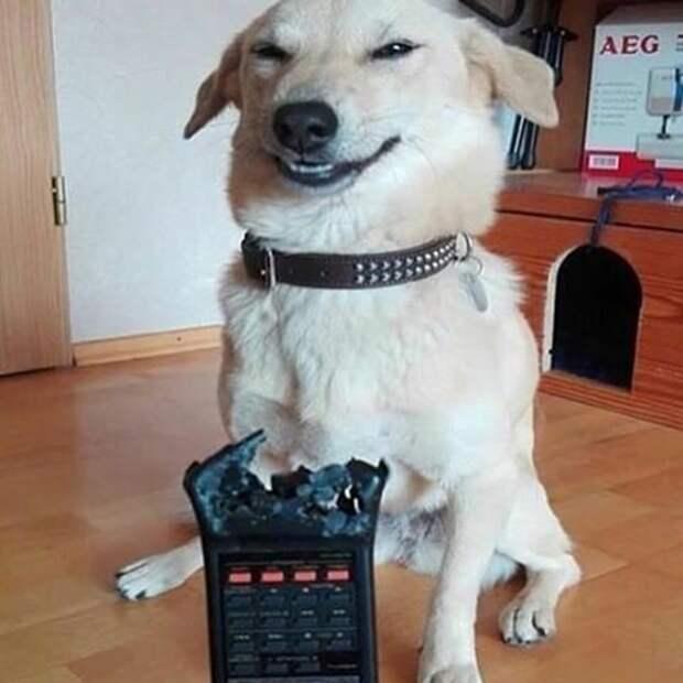 1. Собаки всегда найдут потерявшуюся вещь животные, забавно, милота, подборка, собака, умора, юмор