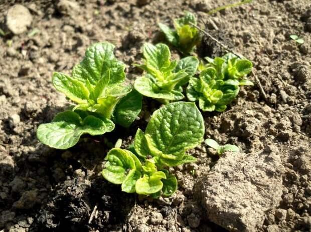 Урожай картофеля будет ухудшаться с каждым годом, если не менять участок посадки
