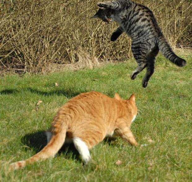 cat_flying_fight_05