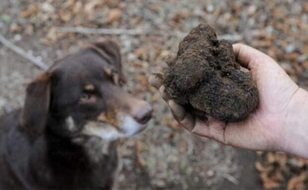 Трюфель в необработанном виде больше похож на кусок земли или коровий катях. дорого, еда, трюфель