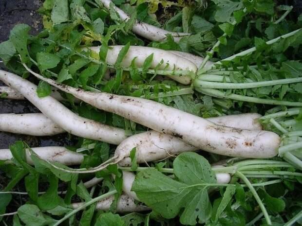 Дайкон стоит посадить! Опытные садоводы советуют