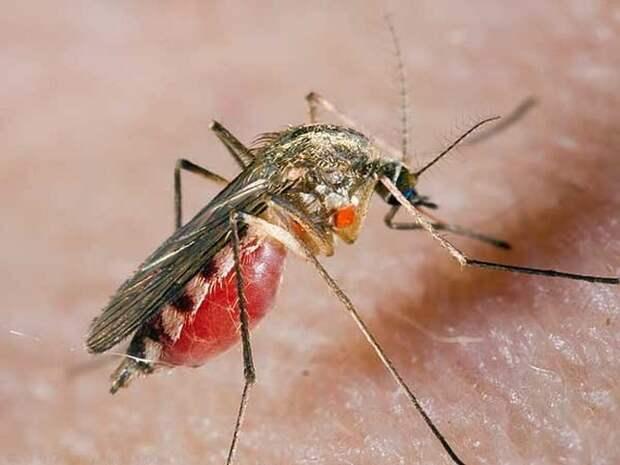 Комар животные, факты