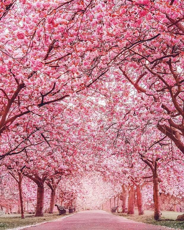Оттенки цветущей сакуры