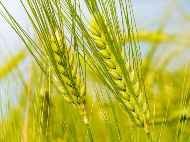 20)Семена ржи  еда, здоровье, напитки, сделай сам