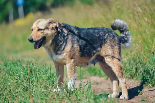 В дружелюбную собаку стреляли множество раз, но она не уходила из деревни пес, приют, пушистая собака, собака