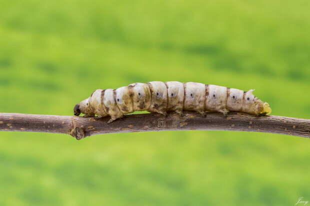 Гусеница тутового шелкопряда лечат людей