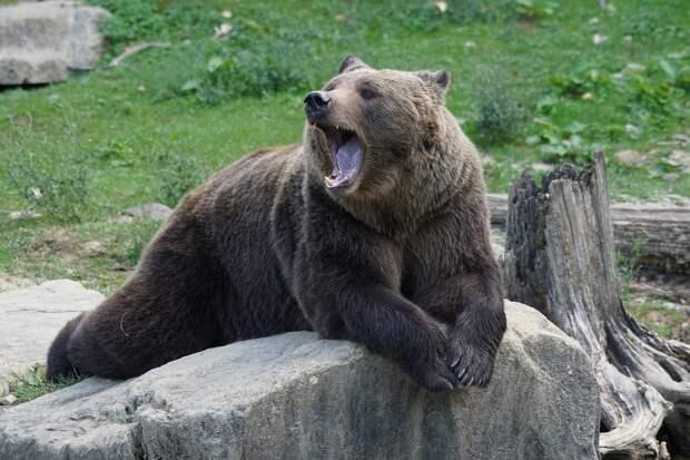 Медведя, гонявшегося за прохожим, поймали в Нижневартовске