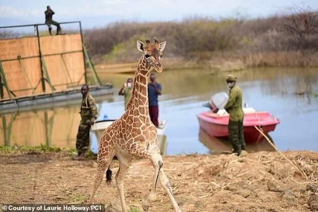 Не оставили в беде: в Кении жирафов спасли с затопленного острова