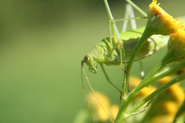 Кузнечики насекомое, насекомые, описание
