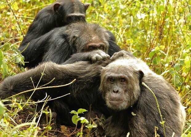 Стареющие шимпанзе предпочли крепкую дружбу новым знакомствам