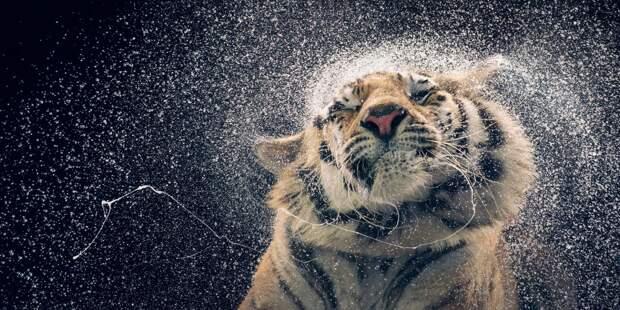 Бенгальская тигрица