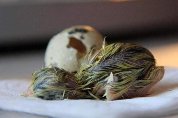 Попугай высиживал перепелиное яйцо! Смотрите что из этого вышло!