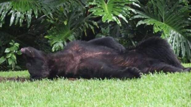 Во Флориде медведь наелся корма для собак и уснул во дворе дома