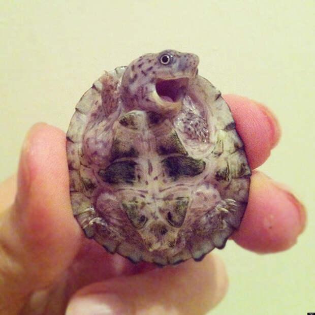 16. Этот черепашонок развеселит любого ниндзя, питомцы, черепахи
