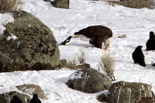 crows-tease-animals-peck-bite-tails-trolls-corvids-6