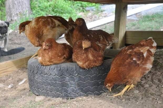 СПА-салон для кур из покрышек