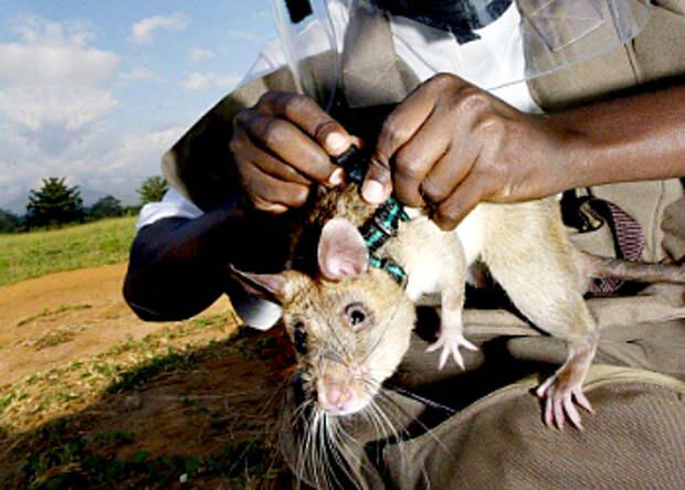 Крысы спешат на помощь
