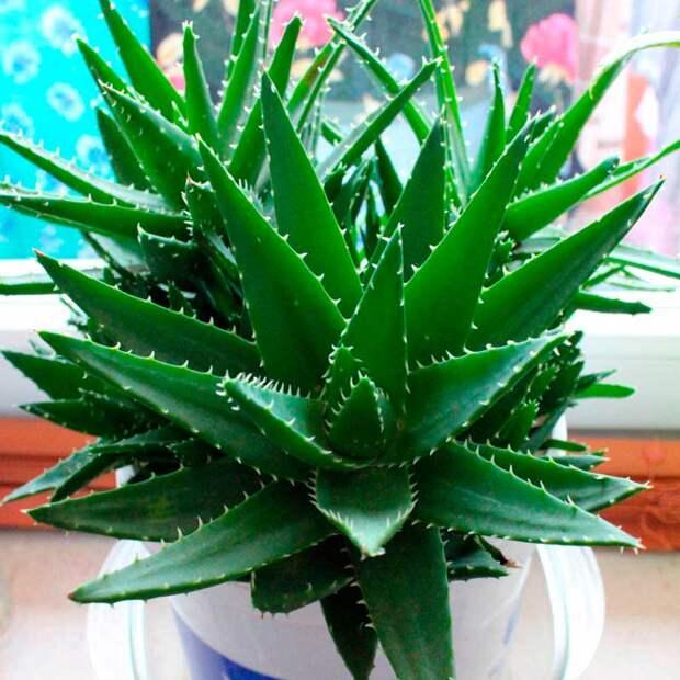 Комнатное растение Алоэ (Aloe)