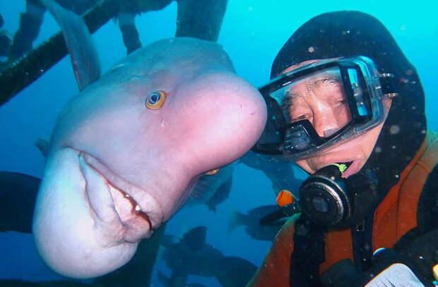 79-летний японский аквалангист 25 лет дружит с большой рыбой-губаном