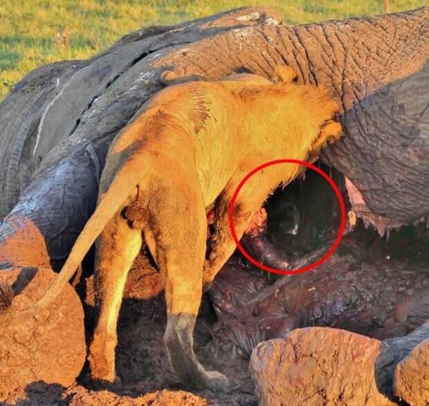 Гиена в туше слона, гиена спряталась в слоне, гиена спряталась от львов