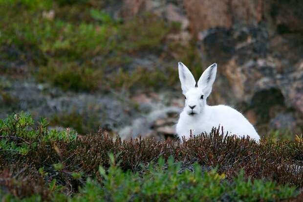Заяц-беляк – типичный обитатель тундры