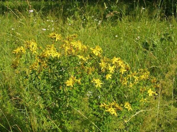 От летней духоты спасет липовый отвар, травы от летних недомоганий