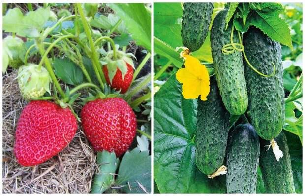Некоторые растения, например, клубника и огурцы, плохо усваивают кальций