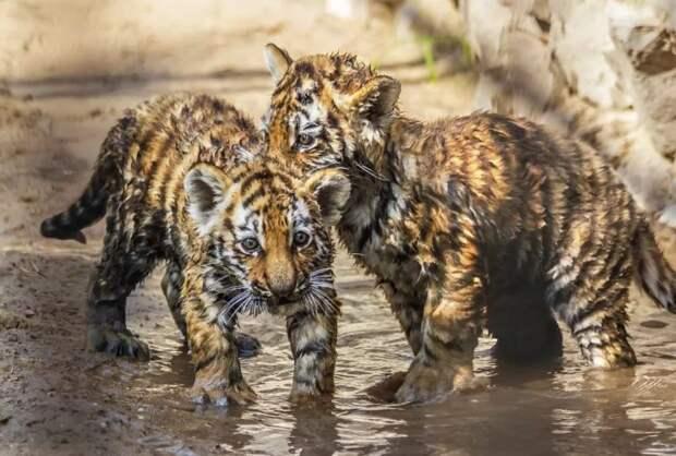 Крошечные тигрята шли по трассе под ливнем, прося помощи у проезжающих машин