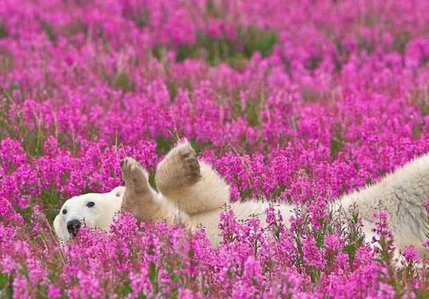 Фото: самые мимимишные белые медведи в мире